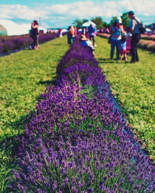 NEOB Lavender